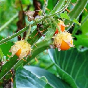 lechee tomatoes