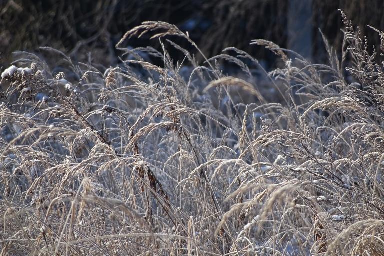 ice grass1