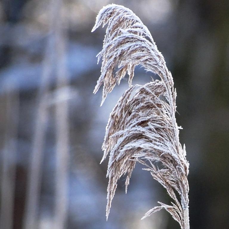 ice grass2