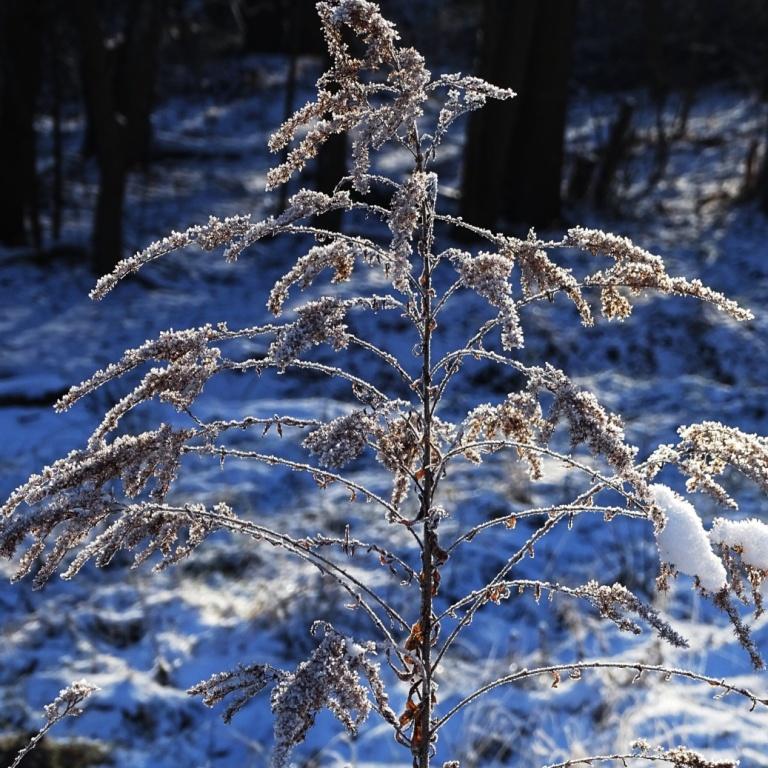 ice grass4