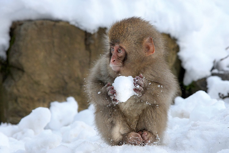 snowball-ape