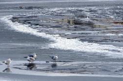 1-gulls