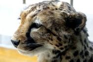 a-gepard
