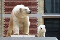 a-icebear