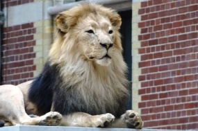 a-lion