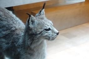 a-lynx