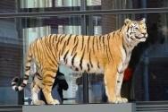 a-tiger2