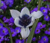 alba coerulea oculata-2