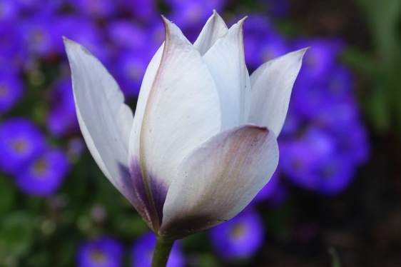 alba coerulea oculata-3