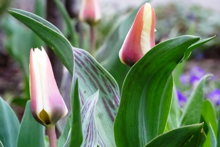 tulips 8.4.