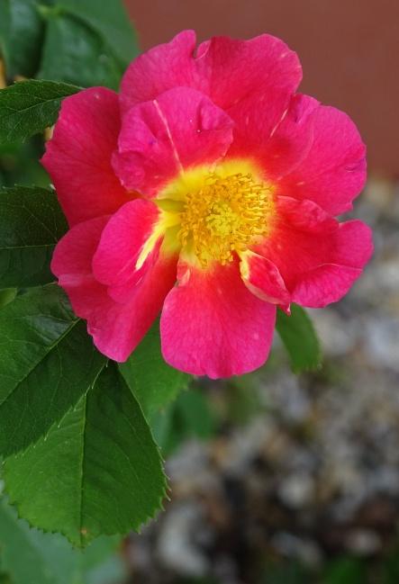 rose 20.6.